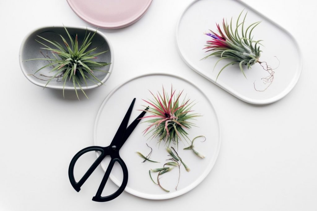 air plant being pruned